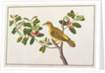 Black-naped Oriole by Chinese School