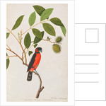 Black-and-red Broadbill by Chinese School