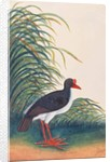 Eurasian Oystercatcher by Chinese School
