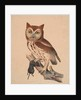 Screech Owl, or Red Owl, 1841 by Isaac Sprague