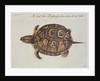 Common Box Tortoise by John White