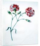 Carnation by Georg Dionysius Ehret