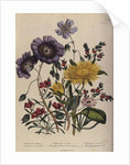 Calandrinia, plate 18 from 'The Ladies' Flower Garden', published 1842 by Jane Loudon