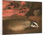 Badger, 17th century by Francis Barlow