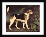 Ringwood, a Brocklesby Foxhound by George Stubbs