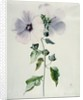 Musk Mallow by Marie-Anne