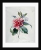Camellia by Marie-Anne