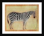 Zebra by Mansur