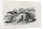 Crows (Corvus corone corone) by Thomas Bewick