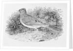 The Skylark by Thomas Bewick