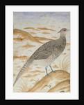 Himalayan cheer pheasant, Jahangir Period, Mughal by Mansur