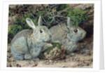 Rabbits by John Sherrin