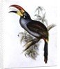 Pteroglossus Hypoglaucus by John Gould