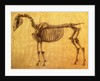 Finished Study for the First Skeletal Table of a Horse by George Stubbs