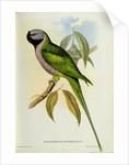 Parakeet: Palaeornis Derbianus by John Gould