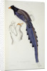 Pica Erythrorhyncha by Elizabeth Gould