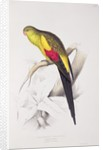 Black-Tailed Parakeet by Edward Lear