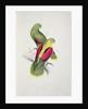 Crimson-Winged Parakeet by Edward Lear