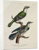 Gilded Cuckoo, Male and Female by English School