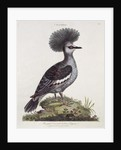 Great Crested Indian Pigeon by English School