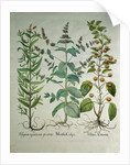 Mint: Mentha crispa by Unknown