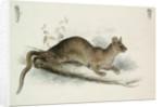 The Polecat by Edward Lear