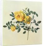 Rosa hemispherica by Georg Dionysius Ehret