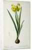 Narcissus Lazetta by Pierre Joseph Redoute