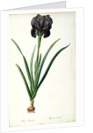 Iris Luxiana by Pierre Joseph Redoute