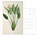 Strelitzia Reginae by Pierre Joseph Redoute
