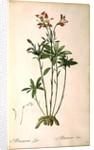 Alstraemeria Ligtu by Pierre Joseph Redoute