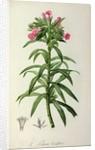 Echium Grandiflorum by Pierre-Joseph Redouté
