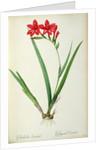 Gladiolus Cardinalis by Pierre Joseph Redoute