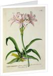 Lilio-Narcissus, Africanus by Pierre Joseph Redoute
