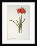 Amaryllis Curvifolia by Pierre Joseph Redoute