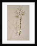 Lilium Candidum by Pierre Joseph Redoute