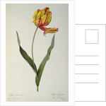 Tulipa gesneriana dracontia by Pierre Joseph Redoute