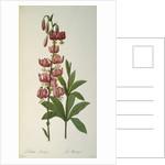 Lilium Martagon by Pierre Joseph Redoute