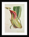 Pitcher plant: Nepenthes villosa (insect eating) by English School
