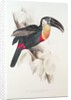 Sulphur and white breasted Toucan by Edward Lear