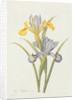 Iris by Pierre Joseph Redoute