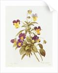 Viola Tricolour by Pierre Joseph Redoute