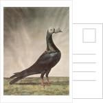 Portrait of a Carrier Pigeon by D. Wolsenholme