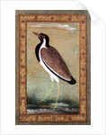 Indian lapwing by Mansur