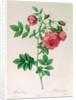 Rosa Rapa by Pierre Joseph Redoute