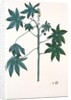 Castor oil plant by Indian School