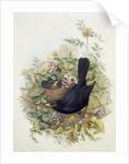Blackbird, 1873 by John Gould