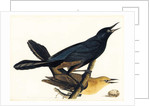A Pair of Boat-Tailed Grackles by John James Audubon