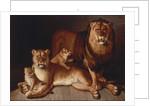 Pride of Lions by Jean-Baptiste Huet