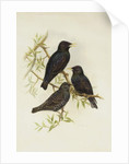 Common Starling by Henry Constantine Richter